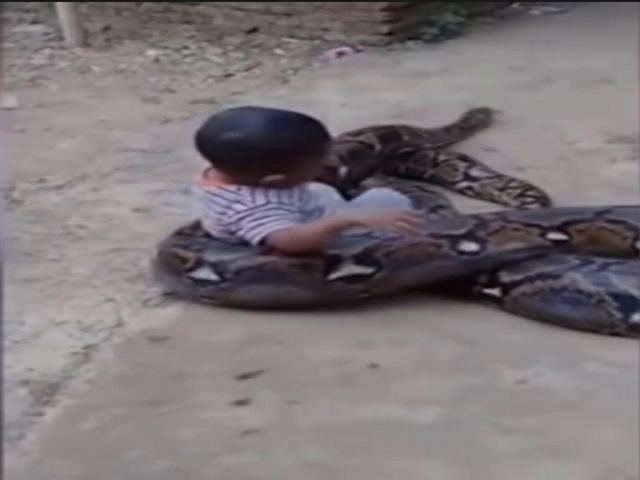 A Film Toddler Playing With Enormous Python In Indonesia