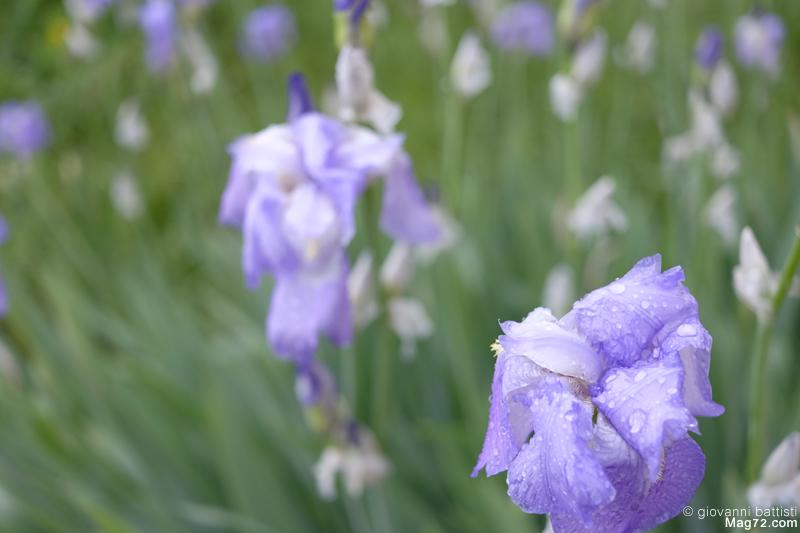 Primo piano di iris