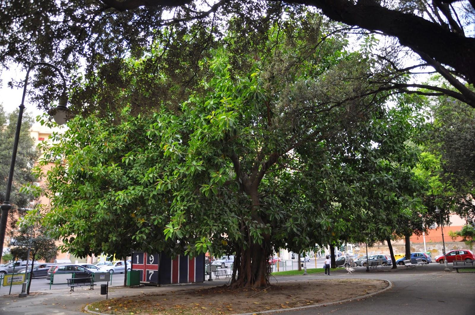 Potare Il Ficus Elastica cagliari in verde: treewatching 2, il ficus elastica