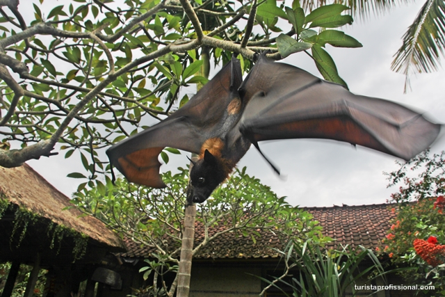 os morcegos gigantes são conhecidos popularmente como raposas voadoras, devida a assemelhar-se com uma raposa. Mesmo com todo esse tamanho e aparência, eles se alimentam de frutas.