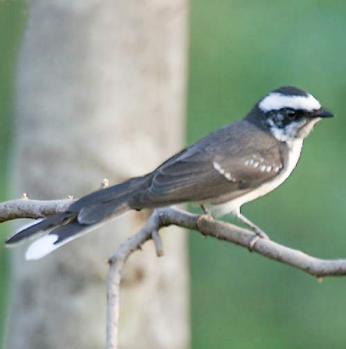 Birds of India - Photo of White-browed fantail - Rhipidura aureola