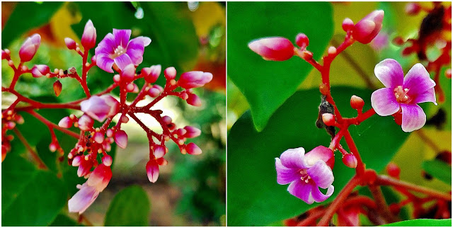 Karambola, oskomian pospolity, starfruit, gwiezdny owoc (Averrhoa carambola) - kwiaty, kwitnienie, roślina, pokrój, wygląd, jak kwitnie karambola, jak wyglądają kwiaty karamboli? Zapylanie, pochodzenie, wygląd, budowa kwiatu, jak powstaje i jak rośnie owoc karamboli. Ciekawostki na temat roślin egzotycznych, owocowych, tropikalnych, użytkowych.