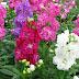 Şebboy Çiçeği Hakkında Gece Açan Çiçek