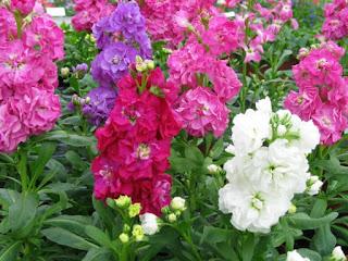Şebboy Çiçeği Gece Açan Çiçek