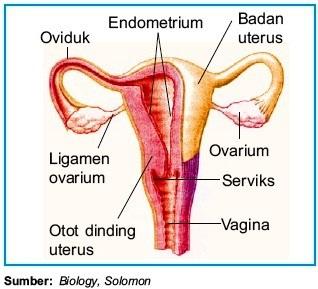Alat Alat Reproduksi Pada Perempuan