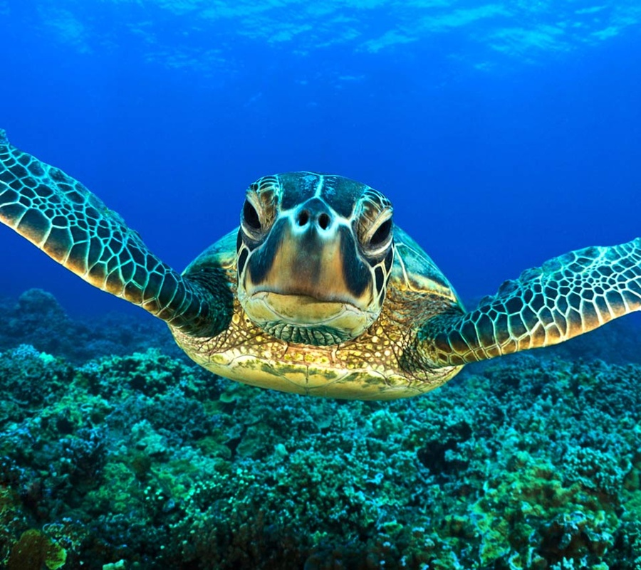 sea animals wallpapers turtle underwater background turtles desktop backgrounds water swimming scuba bing