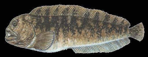 Зубатка полосатая (обыкновенная)