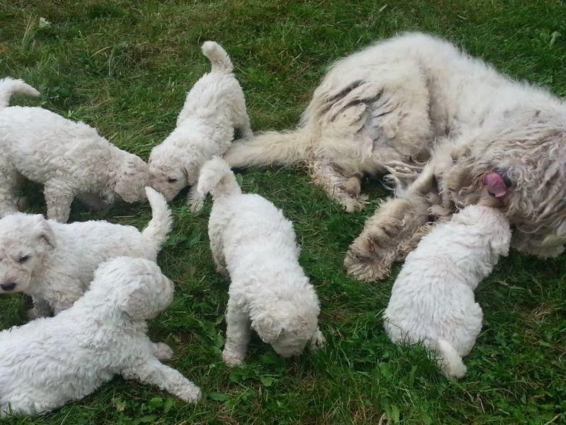 Fluffy white komondor puppy