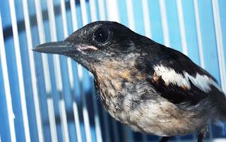 Burung Kacer - Cara Memilih Burung Kacer Bakalan Muda Hutan (MH)