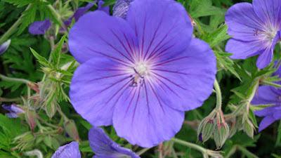 Geranium pratense 'Orion' flower blue
