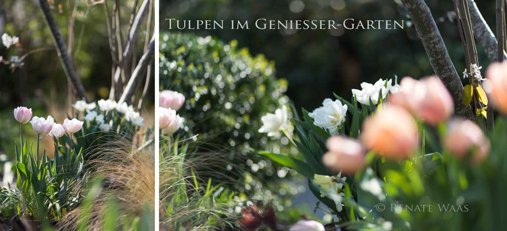 gartenblog geniesser garten tulpen im kiesbeet bilder aus dem geniesser garten. Black Bedroom Furniture Sets. Home Design Ideas