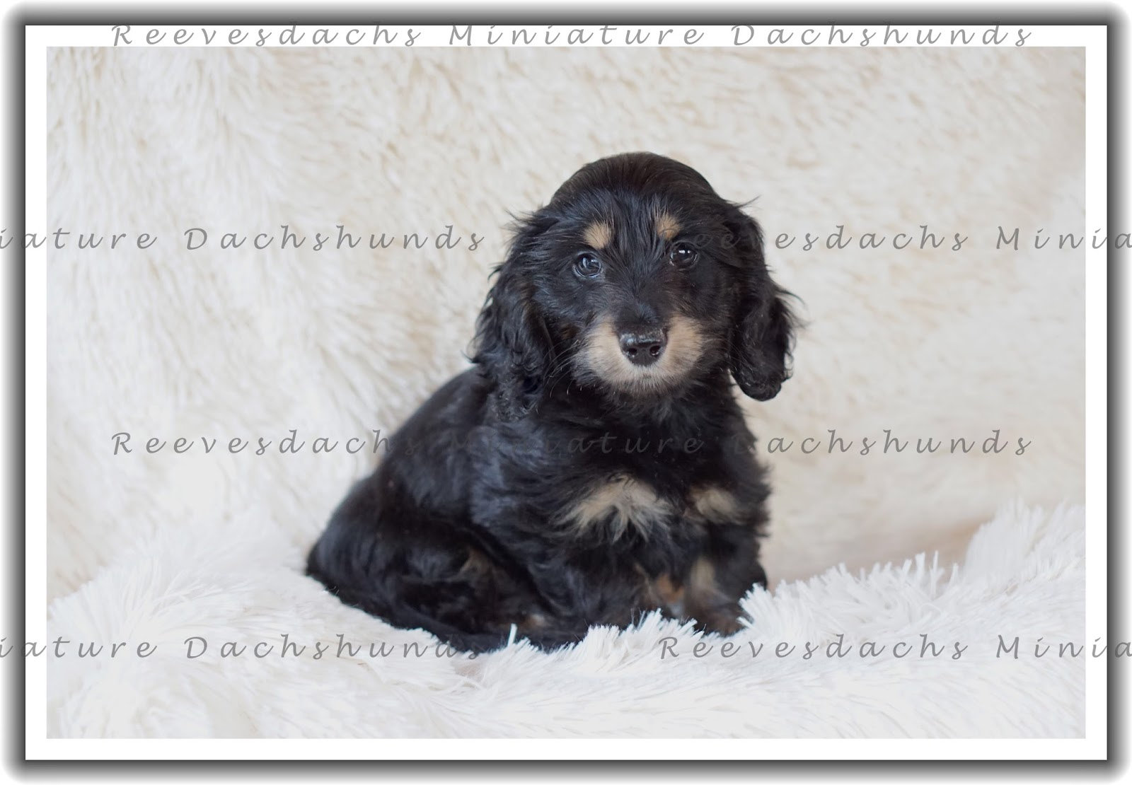 Fine Wire Haired Dachshund Puppies For Sale Ideas - The Wire ...