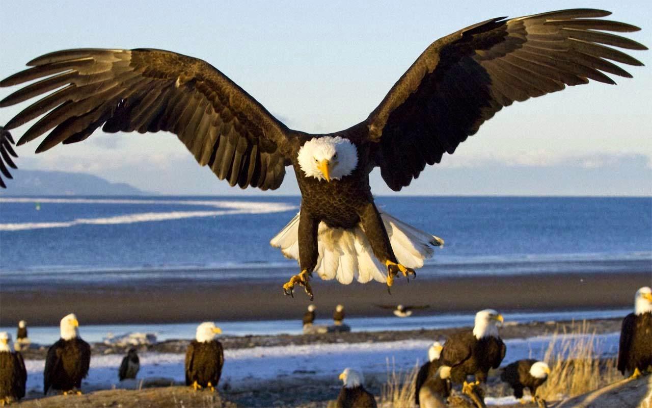 Koleksi Gambar Wallpaper Burung Elang