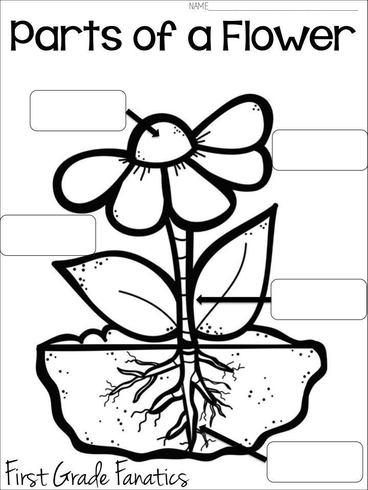 First Grade Fanatics: Plant Life Cycles