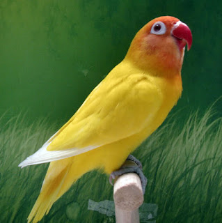 lovebird sakit serak, lovebird suara serak, lovebird serak, lovebird suaranya serak