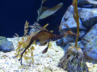 Dragon de mer commun - Phyllopteryx taeniolatus