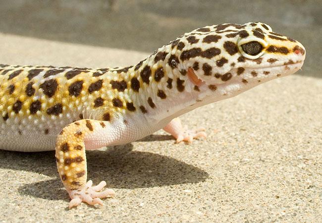 Penelitian Leopard gecko (Eublepharis macularius) regenerates brain cells