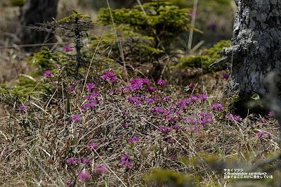 日本では、ここにしか自生していないサカイツツジ ※過去の写真 ≪Rhododendron parvifolium≫
