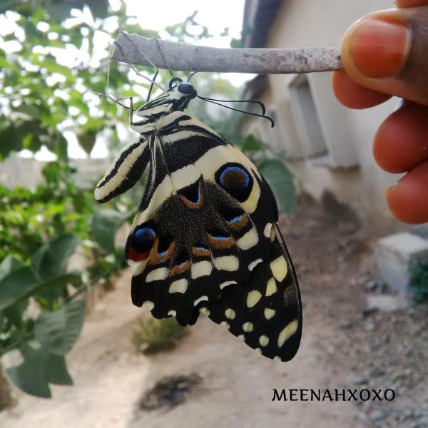 papilio demodocus Nigeria
