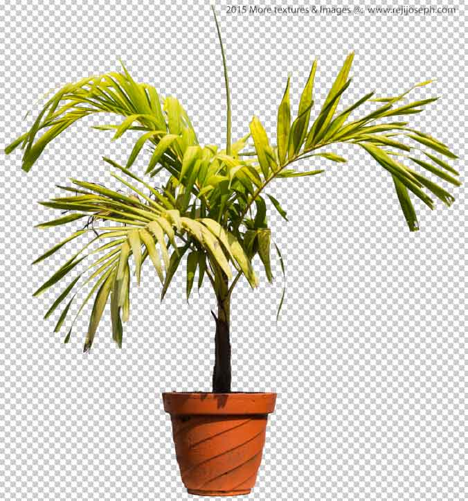 PNG Betel 0nut palm tree 00002