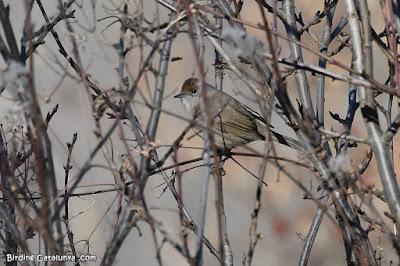 Tallarol de casquet (Sylvia atricapilla)