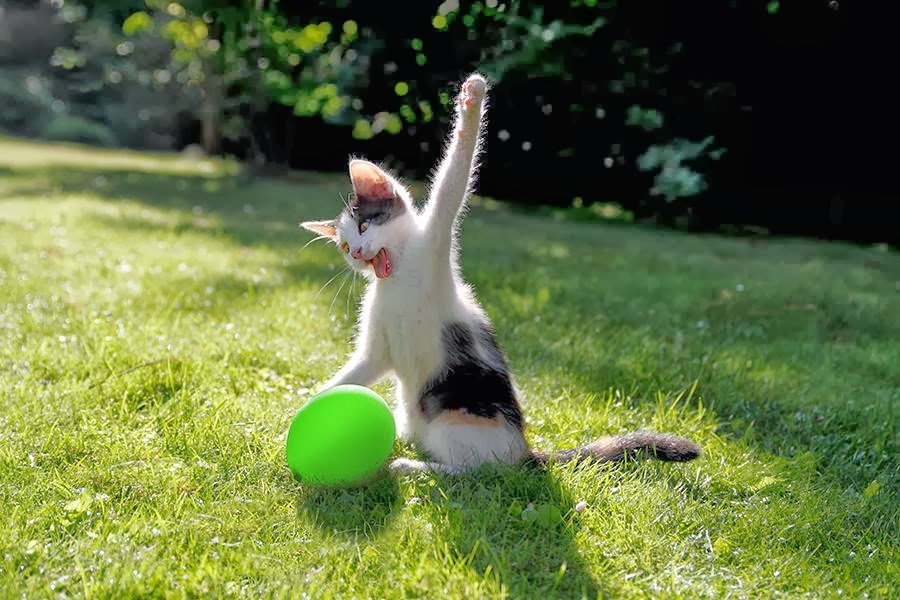 Funny cats - part 87 (40 pics + 10 gifs), kitten tries to burst a balloon