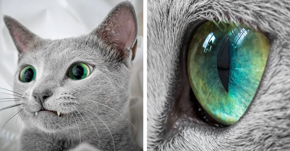 Stunning Pictures Of Silver Cat Sisters With Gorgeous Green Eyes