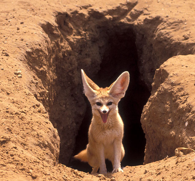 The Beauty Of Fennec F...