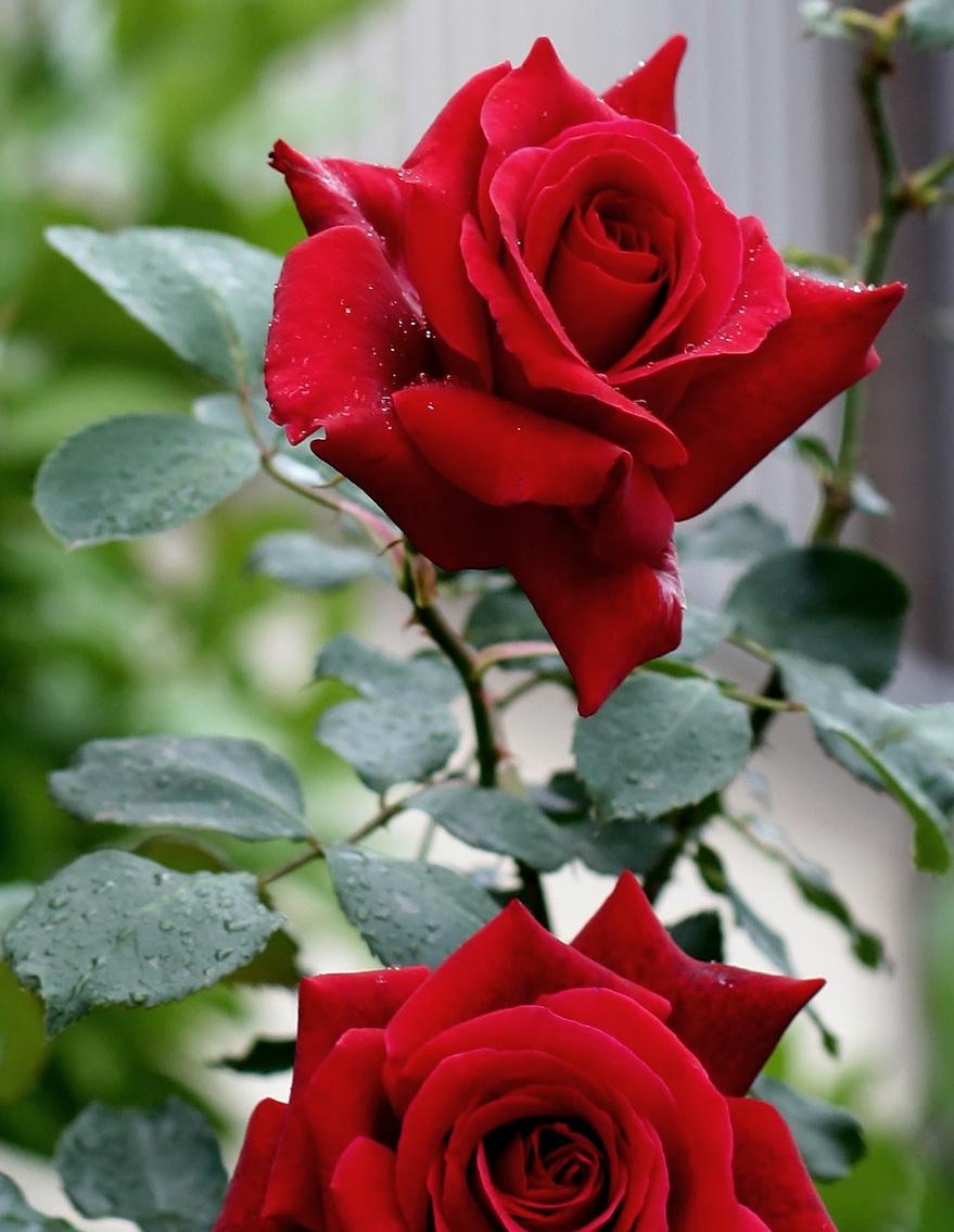 091579183 As rosas assumem significados diversos de acordo com as cores que suas  pétalas apresentam. Mas a roseira é uma planta tão emblemática, que até  mesmo suas ...
