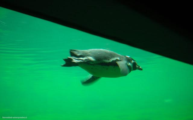 Pinguïn onderwater zwemmend in het aquarium in dierentuin Emmen