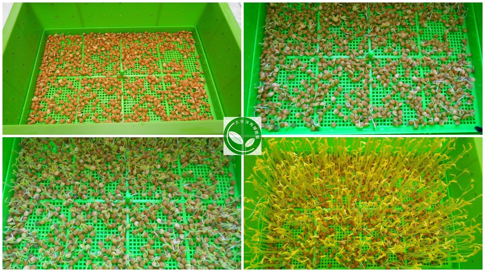 扁豆,紅扁豆,紅扁豆料理,紅扁豆食譜,紅扁豆營養,扁豆功效,綠扁豆,扁豆種植,扁豆哪裡買,綠扁豆的功效