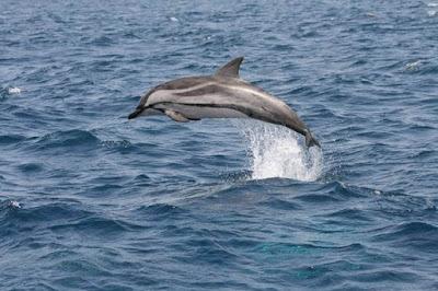Excursiones con pesca turismo para avistar el delfín listado