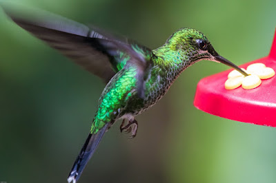 facts of hummingbirds