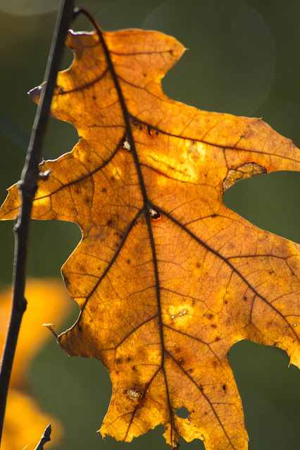 Oak Leaf, River Legacy Parks