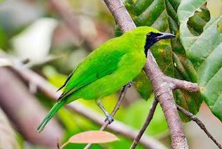gambar cucak hijau