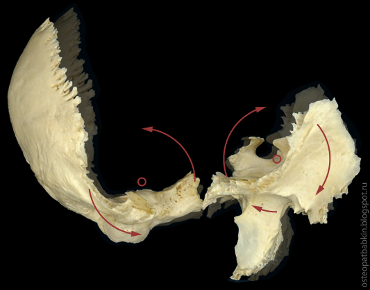 На схеме показано положение затылочной и клиновидной костей в паттерне флексии.