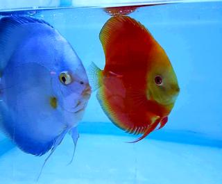 Teknik mudah budidaya ikan discus