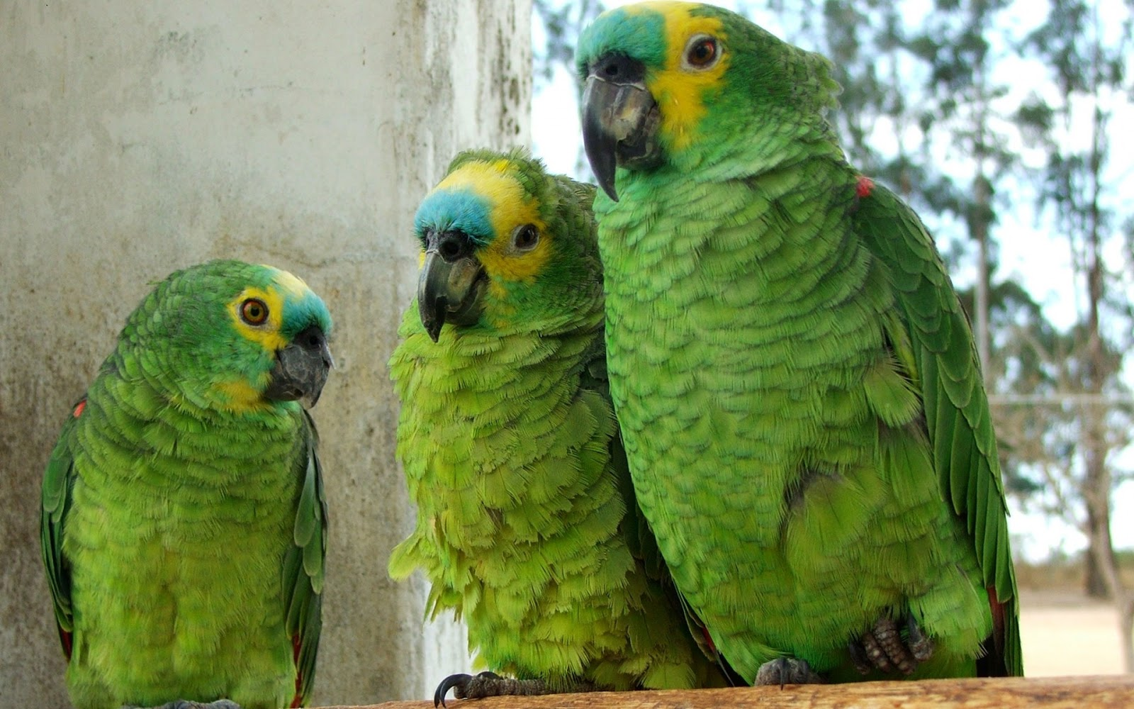 Parrots World Blue Fronted Amazon