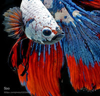 Fotografi-cupang, Betta-fish-fighting-wallpaper,