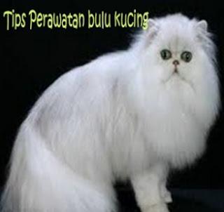Tutorial Cara Merawat Kucing Persia