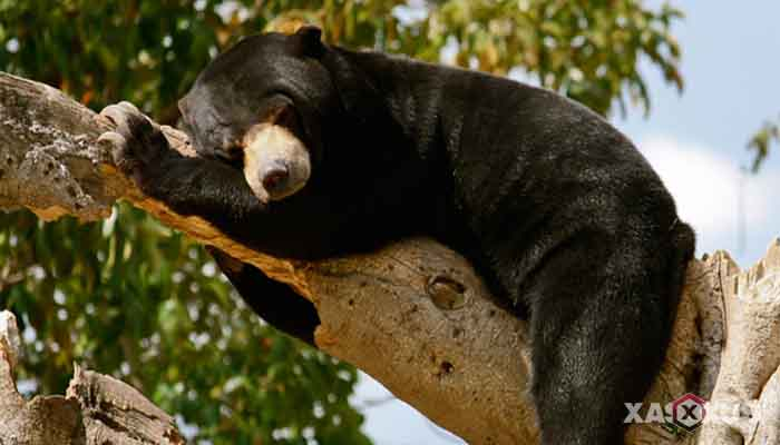 Gambar hewan karnivora atau hewan pemakan daging - Beruang Madu