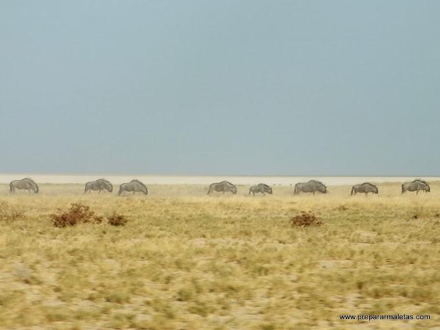 manadas de ñus