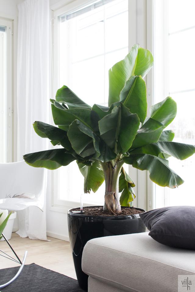 interior, banaanipuu, sisustus, olohuone