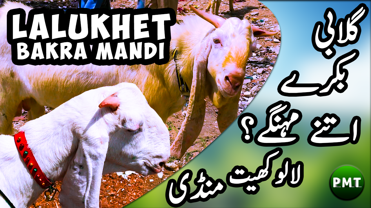 Lalukhet Bakra Mandi | Latest Price Updates of Goats, Sheep