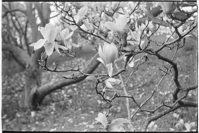 Magnolias and Branches - crafted Metol developer
