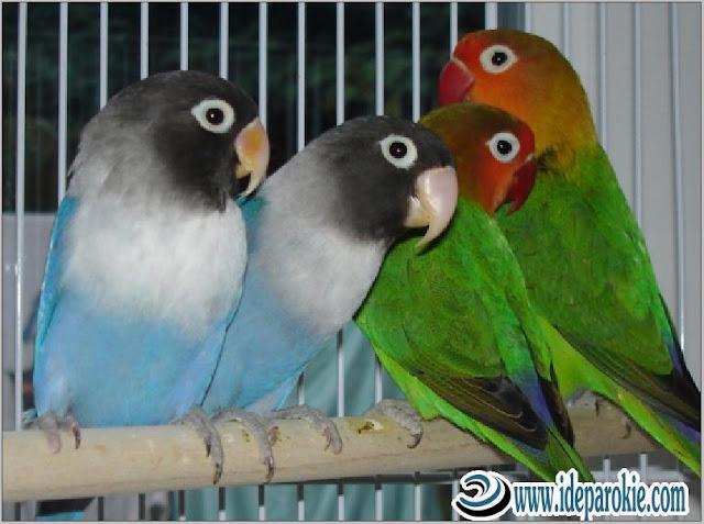 Cara Budidaya dan Ternak Lovebird dengan Penghasilan yang Menjanjikan