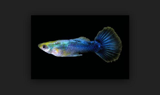 Dunia Ikan Hias - GUPPY METALIK