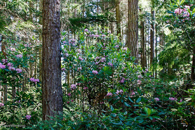 Pacific Rhododendrons on the North Fork Trail