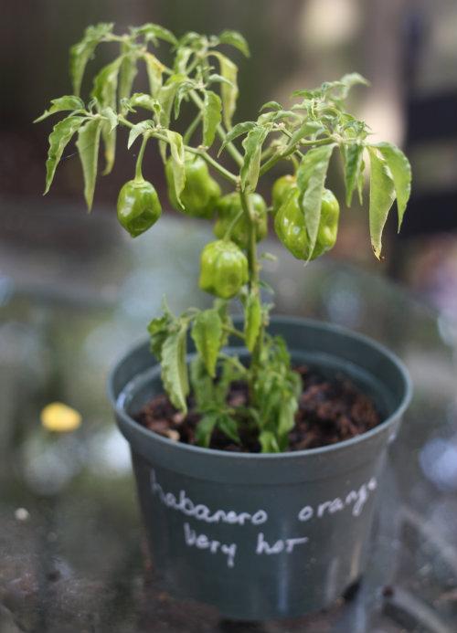 Habanero plante