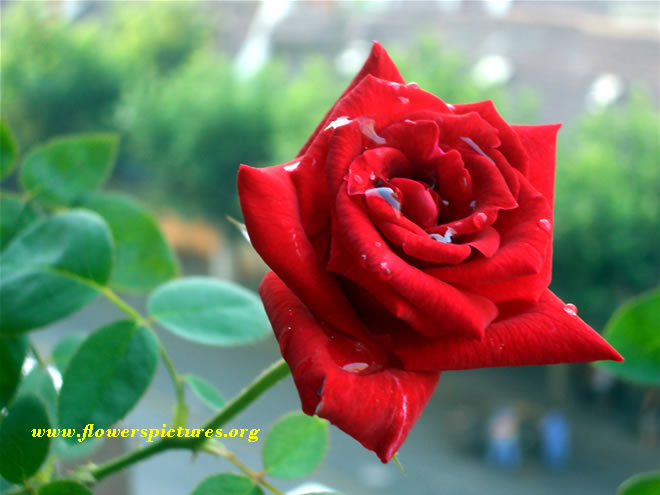 S s c h s c result bangladesh wonderful red rose flower - Images of red roses hd ...